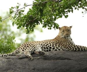 animalove and leopardo image