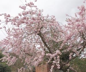 aesthetic, cherry blossom tree, and alternative image
