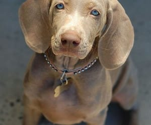 dogs, weimaraner, and lovely image
