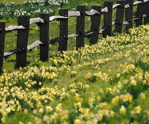 daffodil, fence, and flowers image