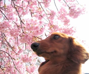 puppy, pink blossoms, and spring image