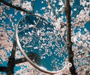 blossom and cherry blossoms image
