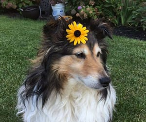 dog, sunflower, and border collie image