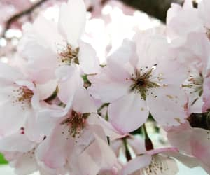 aesthetic, blossoms, and cherry image