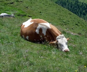 cow, nature, and cute image