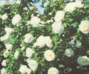 rose, rose bush, and roses image