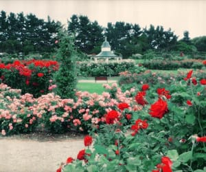 garden, roses, and rose image