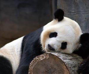 panda, animal, and photography image