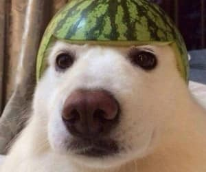 dog and watermelon image