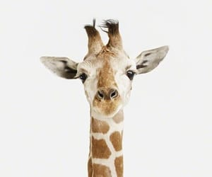 giraffe, animal, and black and white image