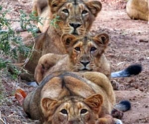 animals, lions, and naturaleza image