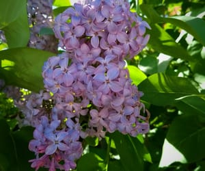 purple, flower, and lilas image