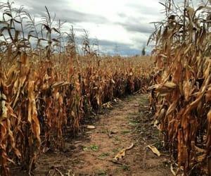 autumn, path, and corn image