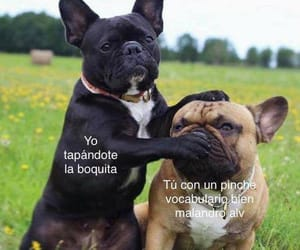 dog, meme, and pug image