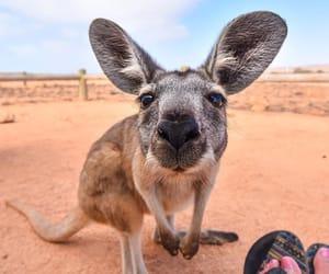 australia, kangaroo, and travel image