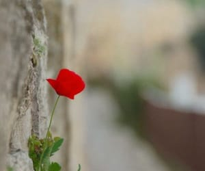 nature and red rose image