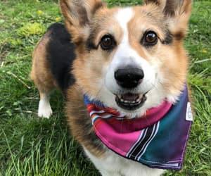 corgi, puppy, and smile image