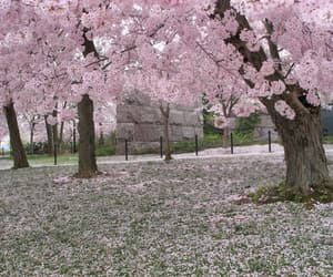 cherry blossoms and pink image