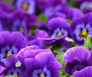 purple, violet, and flowers image