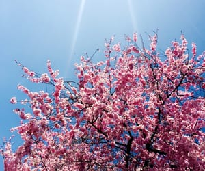 bloom, cherry, and pink image