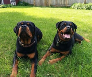 rottweiler puppies, king rottweiler, and breed standards image