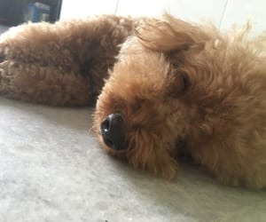 dog, poodle, and puppy image