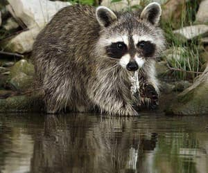 animals, reflections, and raccoons image