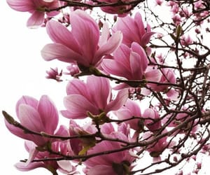 beautiful, magnolia, and photography image
