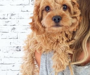 blonde, curly, and dog image