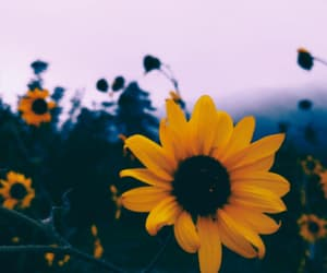 sunflower, yellow, and aesthetic image