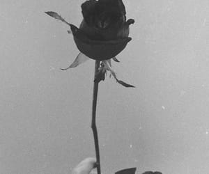 black and white, black rose, and rose image