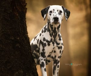 animals, dogs, and dalmation image