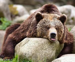 adorable, bear, and animals image