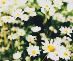 beautiful, field, and daisy image