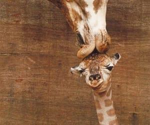 Girafe and kiss image