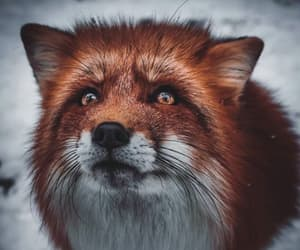 fox beautiful animal red image