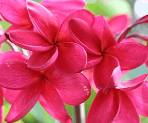 flowers, hawaii, and pink image