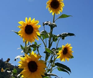 flowers, sunflower, and sunflowers image