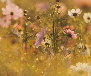 cosmos, flowers, and light image