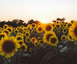 article and sunflowers image