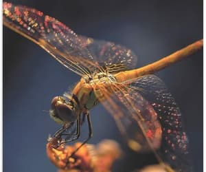 golden dragonfly and thierry dufour image