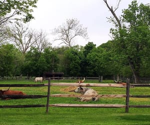 cows, farm, and pasture image