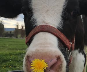 adorable, baby, and cow image