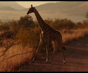 africa, Animales, and jirafas image