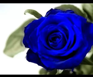 blue rose, rose, and roses image
