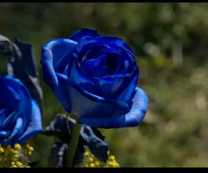 blue, rose, and roses image
