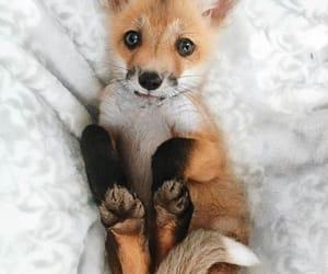 animals, baby, and fox image