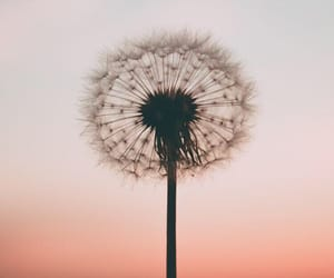 pink, wallpaper, and dandelion image