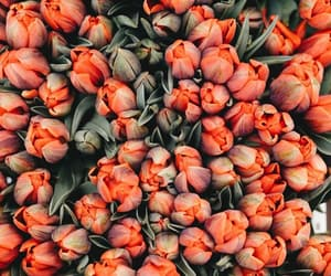 flowers, tulips, and orange image