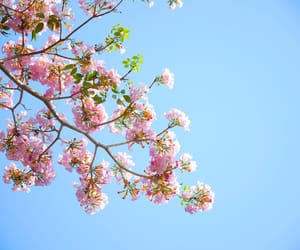 background, cherry blossom, and nature image